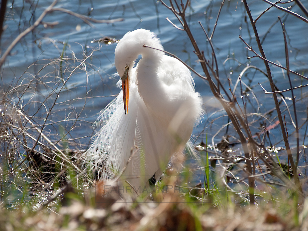 A Great Egret preening on the shoreline of Lake Nokomis