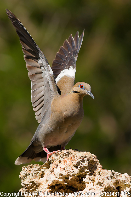 White-Winged Dove spreading its wings
