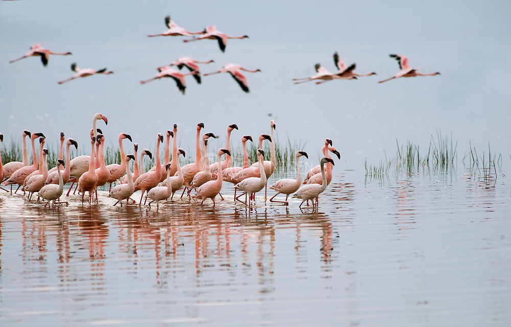 Lesser flamingos at Lake Nakuru, Kenya.