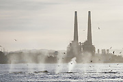 A large group of humpback whales are spotted near the shore as their spouts are backlit by the sunrise. I found it interesting to juxtapose the whale's pleasing spouts with the large man-made power plant stacks in the background.