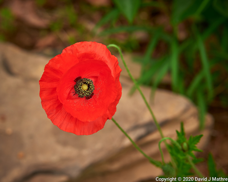 Red Poppy Image taken with a Nikon D810a camera and 105 mm f/1.4 lens.