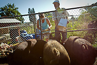 Marvin Tyacke and his daughter Gyneen Sharp feed their pigs in the back yard of their Post Falls home Wednesday. The porky trio recently caused a commotion in the neighborhood when they escaped from their pen.