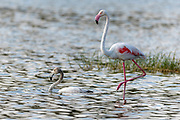 Juvenile and adult greater flamingos (Phoenicopterus roseus) from Jawai area, Rajasthan, India.