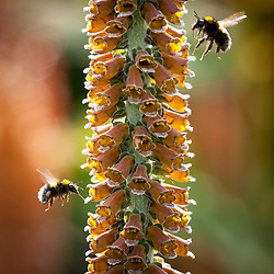 Bees landing on Digitalis parviflora. Foxglove