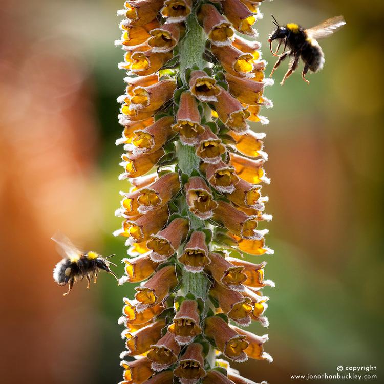 Bees landing on Digitalis parviflora. Foxglove