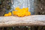 Gul gelésopp (Tremella mesenterica) er en vanlig art som er lett å finne på døde grener i løvskog. Soppen er en parasitt på mycelet av en barksopp (i slekten Stereum). Øverbygda i Selbu, Sør-Trøndelag. Gelesopp (heterobasidiomyceter) er en gruppe av sopp som ofte har svært gelatiniserte fruktlegemer og som tilhører ulike utviklingslinjer som ikke er nært i slekt med hverandre. På grunn av likheter i ytre og i levesett er det likevel praktisk å behandle de som en gruppe i forbindelse med kartlegginger og taksonomisk arbeid. <br /> Gelesopp har flere ulike levesett. En del arter er saprofytter som henter næringen sin fra død ved, andre er parasitter på andre sopper og mange arter lever i symbiose med planter og moser og danner rotsopp (mykorrhiza) med disse. Det er registrert 284 arter av gelesopp i Europa hvorav 115 er rapportert fra Norge. <br /> Prosjektet skal lete etter gelesopp på alle typer substrat og i alle typer av skog og andre relevante habitater i Norge. Materialet som samles inn skal undersøkes i mikroskop og med DNA-analyser for å klarlegge slektskap, påvise kryptiske arter og bidra med DNA-sekvenser til det internasjonale strekkodebiblioteket