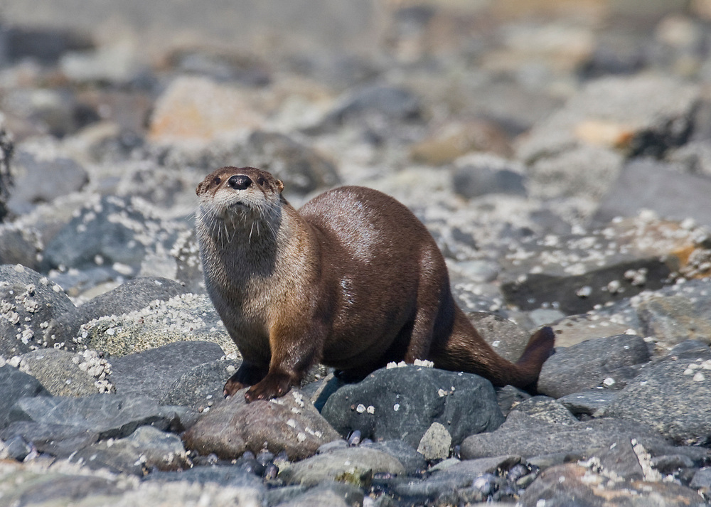 A river otter (Lutra canadensis) pauses in the rocky intertidal zone in Glacier Bay National Park.