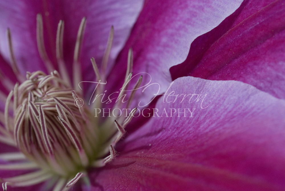 Close-up detail of purple clematis flower