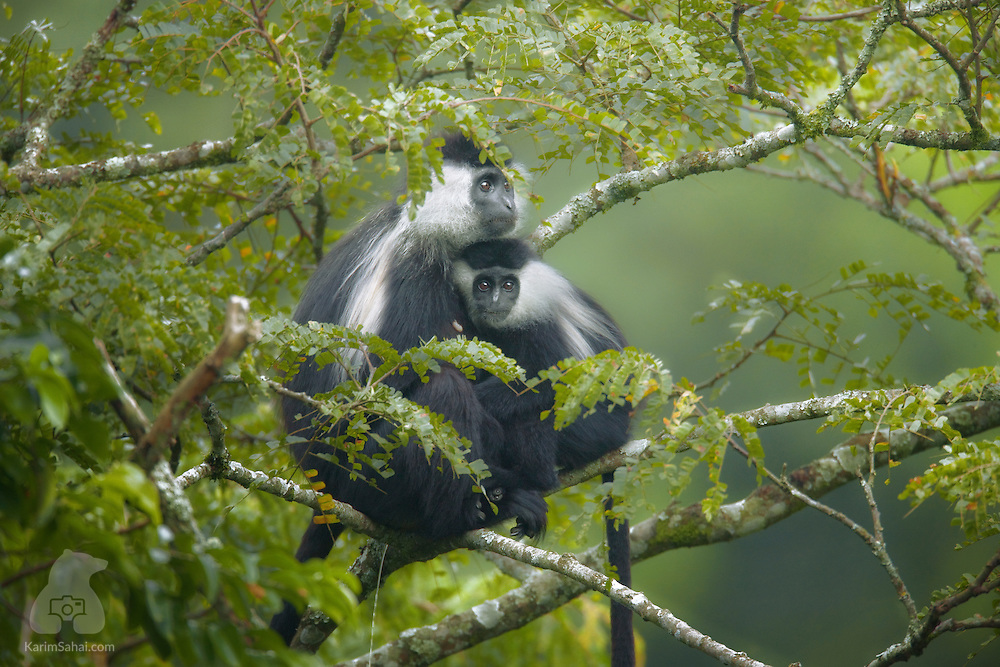 A young colobus monkey clings to its mother, Nyungwe forest, Rwanda. The arboreal colobus monkey almost never descends to the ground, preferring to use branches as springs to catapult themselves over several of meters. Bushmeat trade, habitat destruction and logging are all grave threats to this African primate.