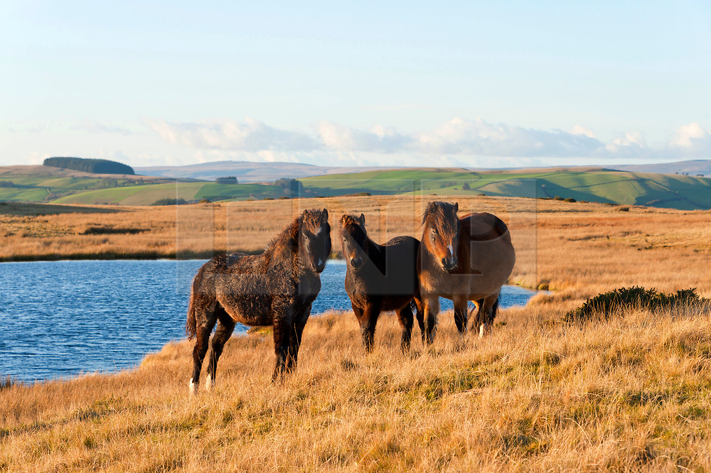© Licensed to London News Pictures. 08/11/2019. Builth Wells, Powys, Wales, UK. Welsh mountain ponies graze in a cold NW wind with feel-like temperatures around zero degrees C on the Mynydd Epynt range near Builth Wells in Powys, UK. Photo credit: Graham M. Lawrence/LNP