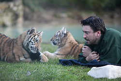 © London News Pictures. 04/02/2013.Siberian tiger cub Kazimir plays with his keeper Ben Warren. Howletts Wild Animal Park in near Canterbury, Kent, officially announces endangered Siberian cubs debut. Siberian or Amur tigers are endangered in the wild and it is estimated that only 400 remain. Picture credit should read Manu Palomeque/LNP
