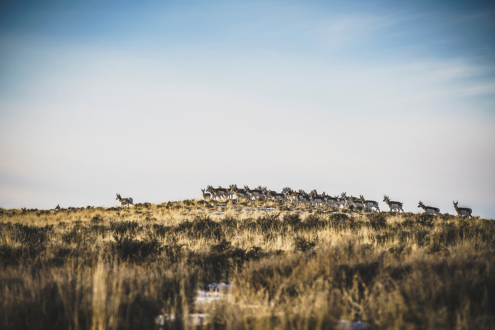 A herd of pronghorn in the sage plains between Thermopolis and Meeteetse, Wyoming.