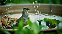 Grey Catbird taking a Bird Bath. Image taken with a Nikon D4 Camera and 600 mm f/4 VR lens (ISO 5000, 600 mm, f/4, 1/1250 sec).