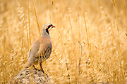 Chukar Partridge or Chukar (Alectoris chukar) Photographed in Israel in June