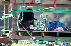 December 20, 2017 - Loxahatchee, Florida, U.S. - Bamboo unwraps gifts under a shelter. Lion Country Safari's 16 chimpanzees were treated to gifts during the 33rd annual Christmas with the Chimps in Loxahatchee, Florida on December 20, 2017.  This years Christmas with the Chimps was dedicated to Little Mama the 79-year-old chimpanzee who passed away in November. The park's chimpanzees received gifts including edible treats, stuffed animals, clothes and enrichment-themed activities. ''Chimpanzees are extremely intelligent. They recognize that the gathering crowd of guests signals that Santa is on his way. They also read human emotions very well, and react to the excitement and anticipation of our guests. The whole day is really very enriching for them,'' says Primate Curator Tina Cloutier Barbour. Over the 33 years, it has developed into a community event and this year featured the Cypress Trails Elementary School's ''Singing Lions'' chorus. This is the only event where guests are permitted out of their vehicles. (Credit Image: © Allen Eyestone/The Palm Beach Post via ZUMA Wire)