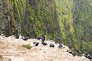 Colony of Puffins - pelagic seabirds, Fratercula, on clifftop in breeding season, Skomer Island, National Nature Reserve, Wales