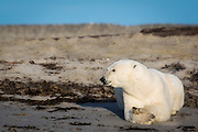 Polar Bear lies on the beach, dreaming of a white christmas. At Phipps island, north of Spitsbergen | Isbjørn ligger på en sandstrand og drømmer om en hvit jul. På Phippsøya