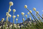 MT00124-00...MONTANA - Beargrass (Xerophyllum tenax) along the Swiftcurrent Pass Trail