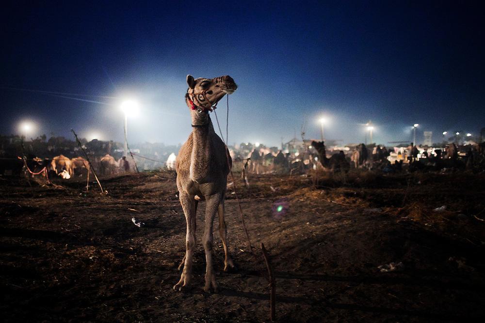 A camel is seen tied on the fair grounds in Pushkar, India, November 5, 2011.  Photographer: Prashanth Vishwanathan