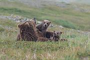 A mother bear plays with her cubs - Katmai, Alaska