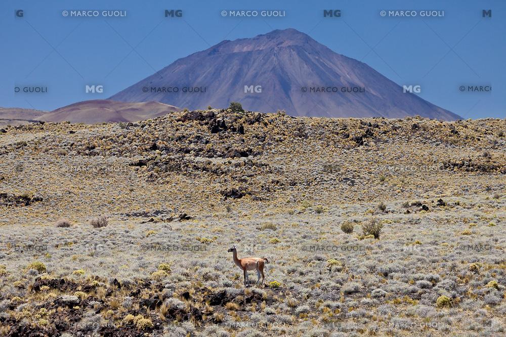 GUANACO (Lama guanicoe) EN LA ESTEPA Y VOLCAN PAYUN LISO (3.833 m.s.n.m.), RESERVA PROVINCIAL LA PAYUNIA (PAYUN, PAYEN), MALARGUE, PROVINCIA DE MENDOZA, ARGENTINA (PHOTO © MARCO GUOLI - ALL RIGHTS RESERVED)