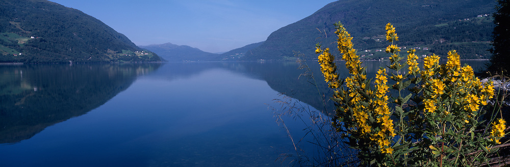 Europe, Norway, Early morning lights on yellow wildflowers along Innvikfjord near the town of Loen