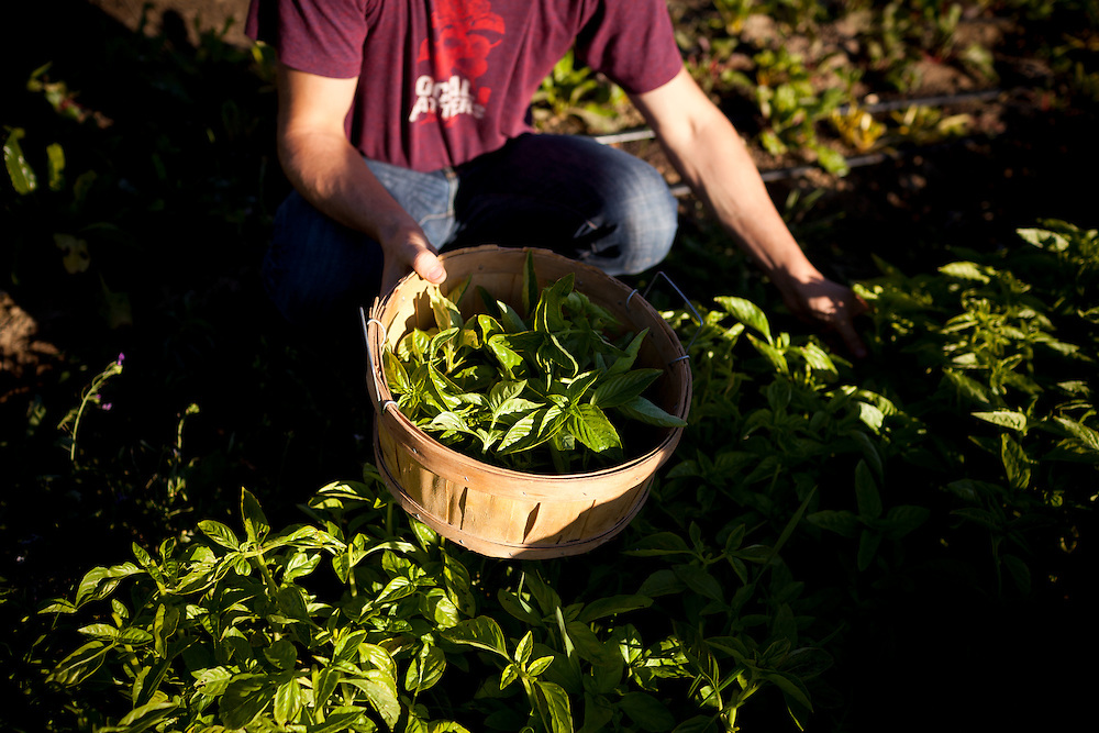 Lowell Sheldon, 30, picks basil for his restaurant, Peter Lowell's, on the family farm, Two Belly Acres, just outside Sebastopol, on Saturday, Oct. 9, 2011. In recent years, new restaurants, shops and live music venues have opened in Sebastopol, securing the town as an arts and culture hub.
