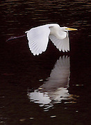 An egret takes flight over Beaver Lake in Mill Neck, N.Y.