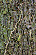 The remains of a dead ivy plant cling to the bark of a western hemlock (Tsuga heterophylla) tree in Yost Park, Edmonds, Washington.