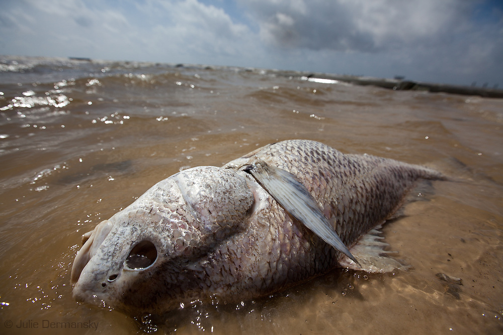 Dead fish in Waveland, Mississippi on the beach.<br /> An unprecedented number of dead animals   have washed up on the shores of Mississippi along the Gulf of Mexico starting almost a year after the BP oil spill. in Long Beach, Mississippi on the beach.<br /> An unprecedented number of dead animals   have washed up on the shores of Mississippi along the Gulf of Mexico starting almost a year after the BP oil spill.