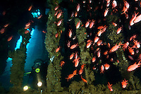 A school of soldierfish in the hold of an unidentified ship wreck, Manokwari, West Papua, Indonesia.