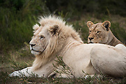 White lion (Panthera leo)<br /> lion with half white genes<br /> Inkwenkwezi Private Game Reserve<br /> Eastern Cape<br /> SOUTH AFRICA<br /> Captive bred white (leucistic) lions<br /> CAPTIVE
