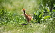 A young Whooping Crane stretches it's wings while on a walk at the International Crane Foundation.  Nine Whooping Cranes were raised by a costumed aviculturist so that there will be no human imprint during the Direct Autumn Release program.  The program raises the chicks from hatch until their release in the fall in an reintroduction effort to increase the numbers of the rare Whooping Crane.