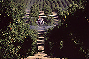 Crop dusting oranges.  Helicopter flying over orange groves near Bakersfield, California, USA, spraying the trees to protect the crop from disease and mildew. .Cameo Ranch.