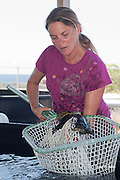 Research and Fish Health Manager Jennica Lowell uses dip net to capture yearling giant grouper, brindle bass, or Queensland groper, Epinephelus lanceolatus, at Kona Blue Water Farms aquaculture research facility at NELHA, Kona, Hawaii