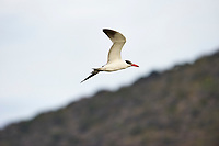 Caspian Tern (Sterna caspia) flying above Lake Chapala, Jocotopec, Jalisco, Mexico