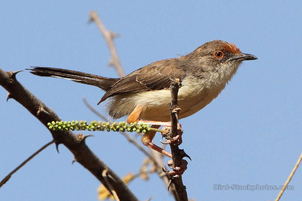 Red-fronted Warbler, Urorhipis rufifrons, Ethiopia, by Markus Lilje