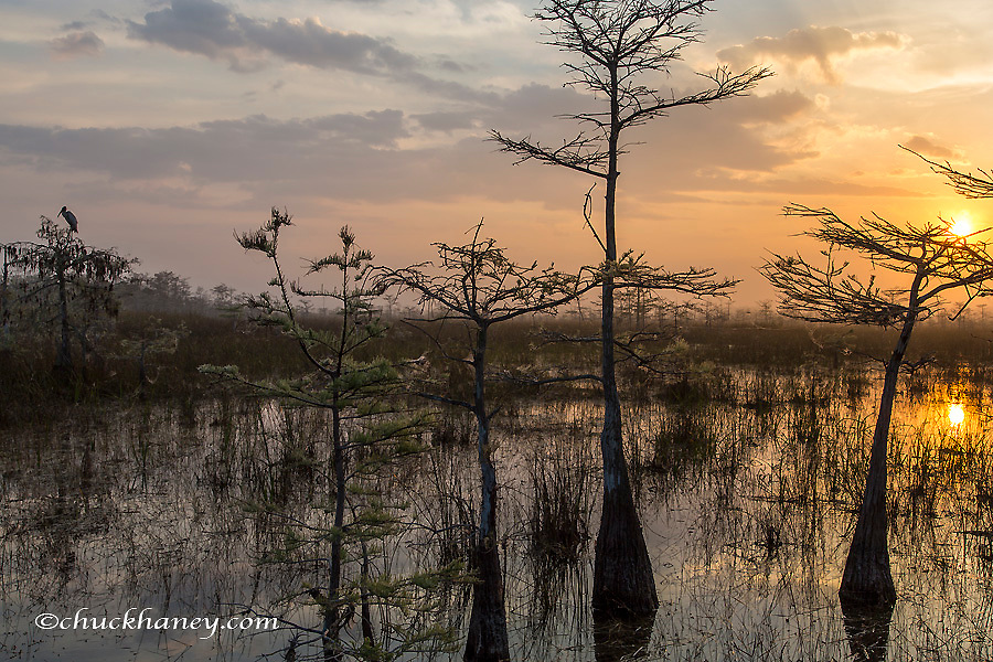 Wood Stork is silhouetted by the sunrise in Everglades National Park, Florida, USA