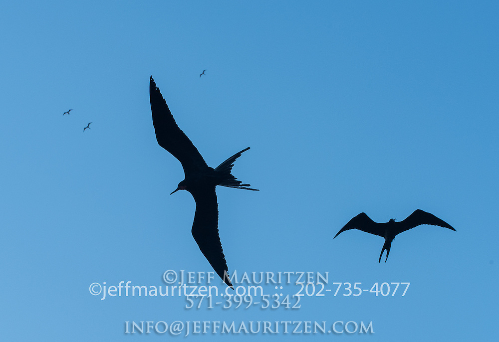 A fleet of magnificent frigatebirds in flight against a blue sky.