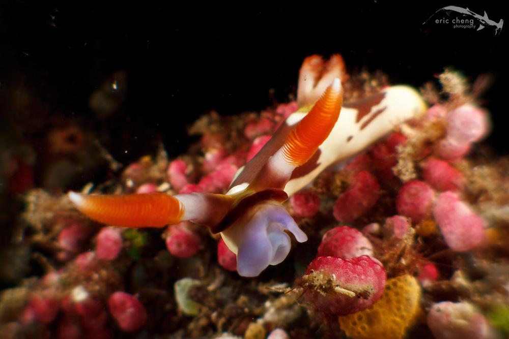 Red-gilled nembrotha nudibranch (Nembrotha rutilans). Lembeh Strait, Indonesia. echeng100304_0252687