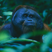 NGM Orangutans 1