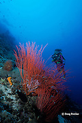 diver and red sea whips, Ellisella sp., Father's Reefs, New Britain, Papua New Guinea ( Bismarck Sea / Western Pacific Ocean ) MR 242