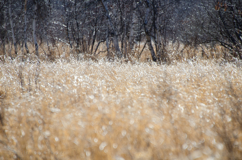 A golden field of last year's grasses shimmers in the late winter sunlight, Acadia National Park, Maine