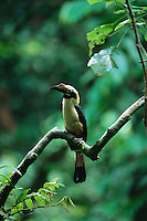Endangered Visayan Tarictic Hornbill (Penelopides panini) male..Northwest Panay Island Natural Park, Philippines.