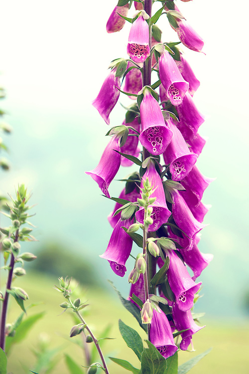 Purple flower - foxgloves digitalis