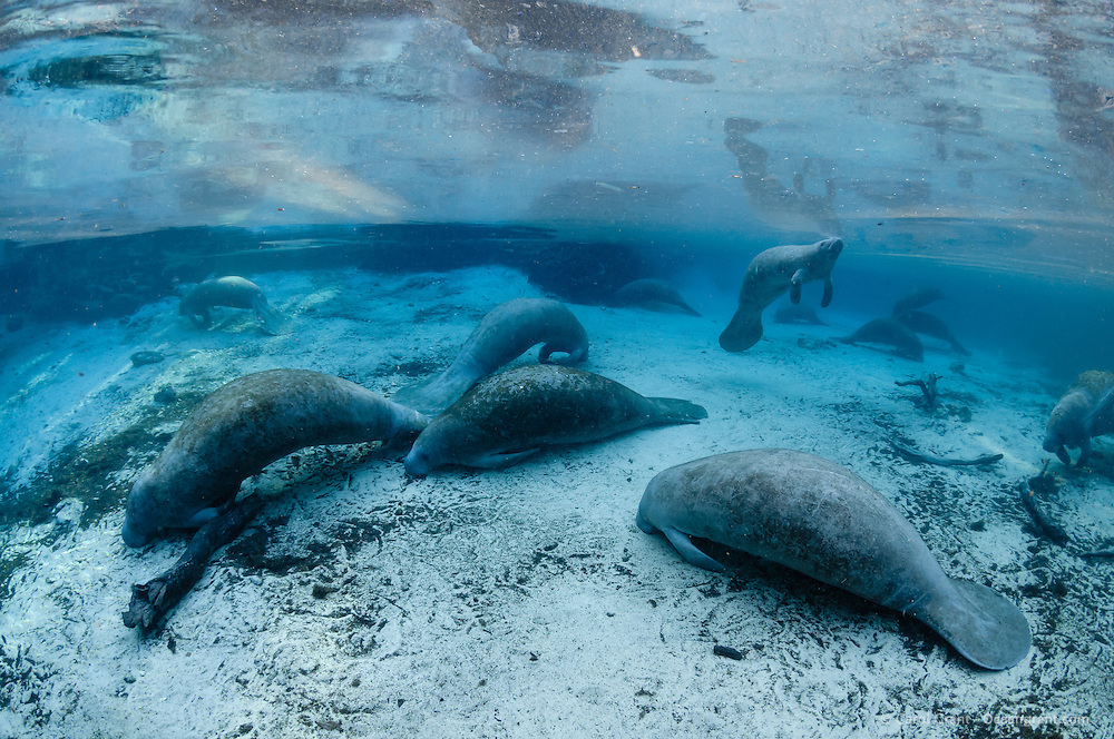 Florida manatee, Trichechus manatus latirostris, a subspecies of the West Indian manatee, endangered. A series of manatees gathering near the warm springs during the bitter cold period of early January 2010. Many manatees gather and try and stay warm around the warm blue freshwater of the natural springheads. One of the manatees is surfacing for a breath. Manatees need these natural warm springs to survive cold weather, like today. Horizontal orientation with blue water and many manatees with reflection and warming sun rays. Three Sisters Springs, Crystal River National Wildlife Refuge, Kings Bay, Crystal River, Citrus County, Florida USA.
