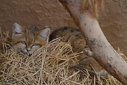 Sand Cat (Felis margarita), also known as the sand dune cat, is the only felid found primarily in true desert. Photographed in Israel in Captivity