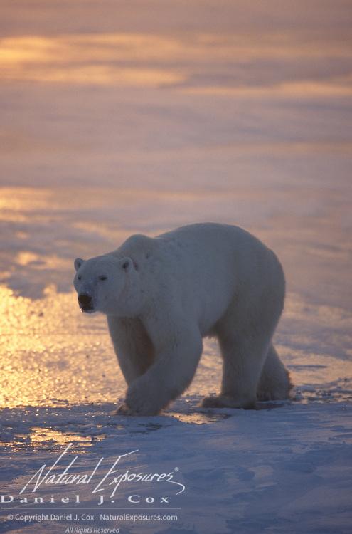 Polar bear (Ursus maritimus) walking on frozen Hudson Bay during sunset. Canada