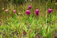 Polygalaceae (Milkworts)