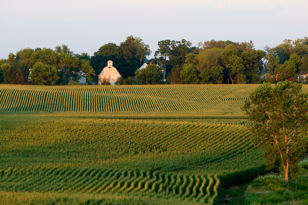 Hidden by a grove of tall trees, a white barn stands out amongst the rolling green fields of corn.